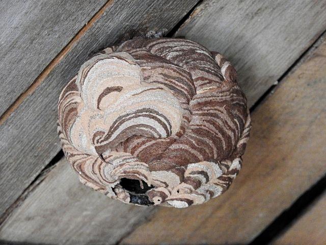 越谷市でのスズメバチの巣の駆除について