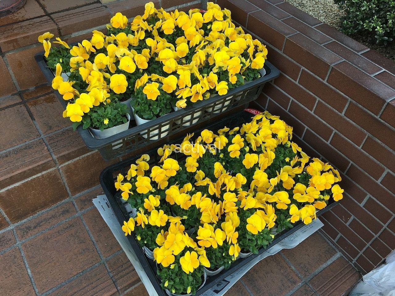 トマト園芸さんで買った生産直売の黄色のビオラです!
