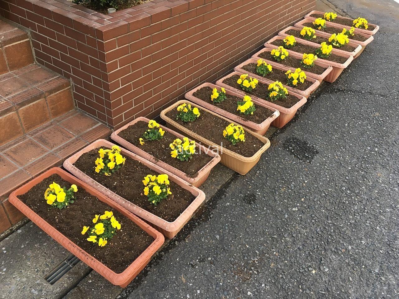 プランターの植え替えでトマト園芸さんで買って来た黄色のビオラを植えました!!