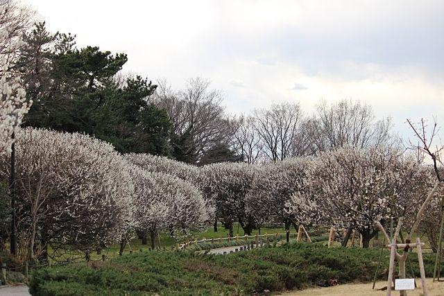 第25回越谷梅林公園梅まつり