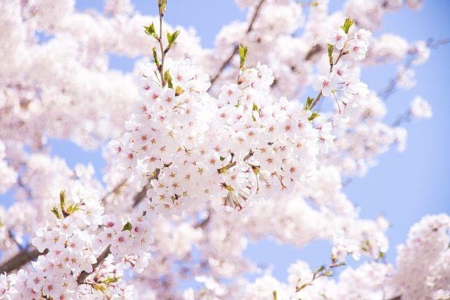 北越谷桜まつり2019