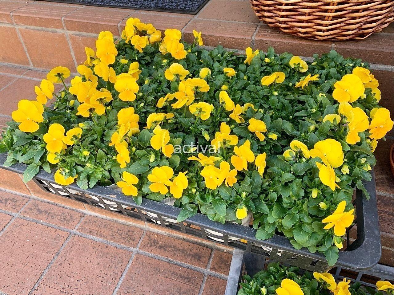 アクティバル園芸部の秋のプランター植え替えです。