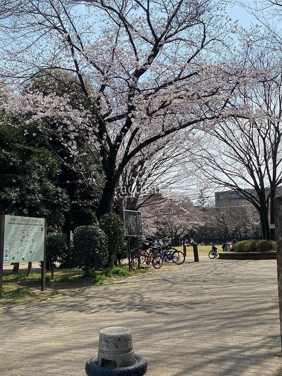 南越谷第1公園の桜が見ごろです。