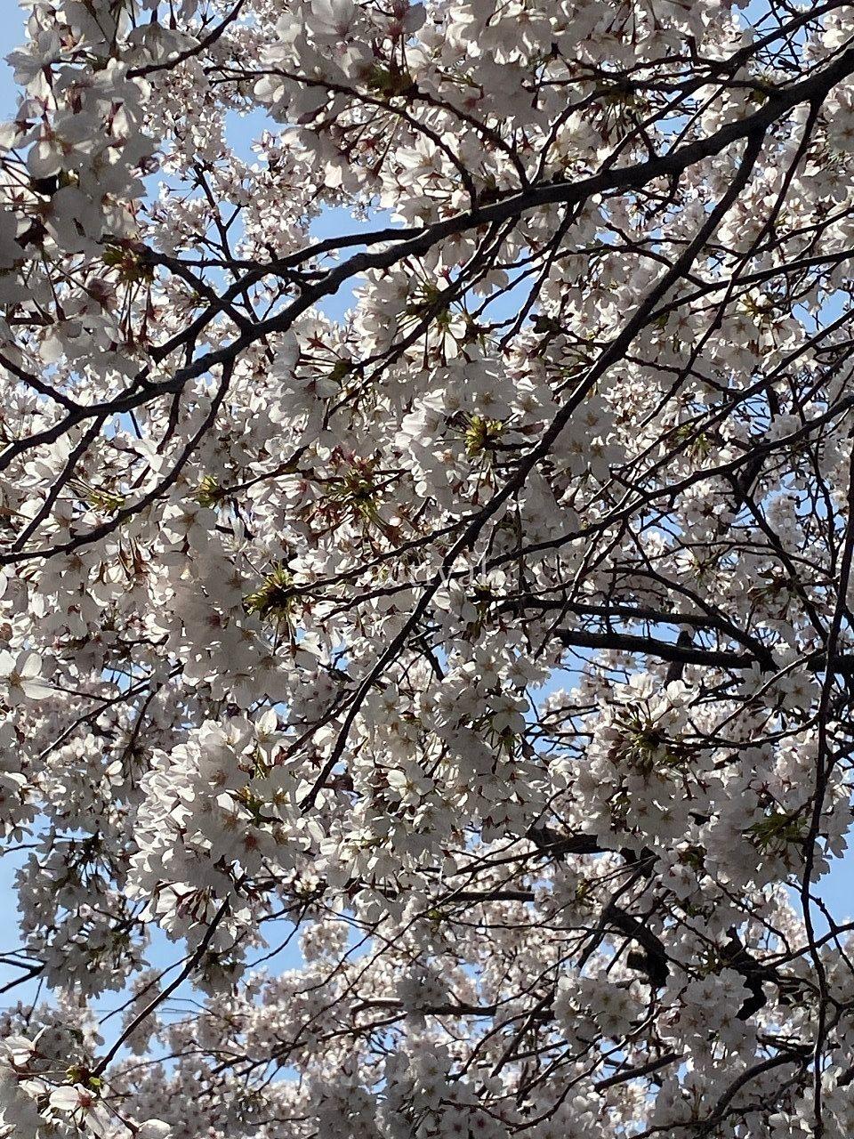 南越谷第1公園の桜です。