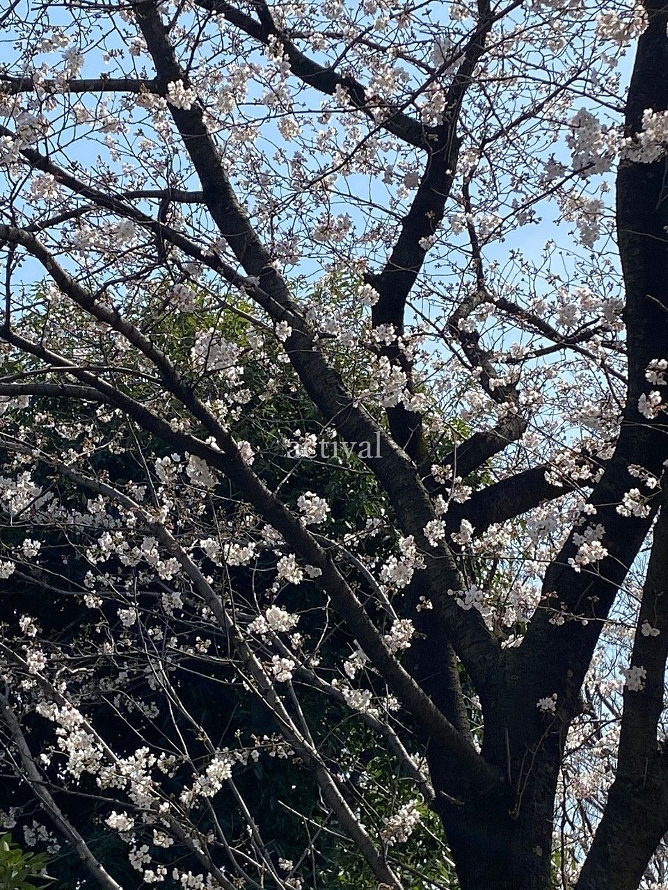 南越谷第1公園の桜が咲いています。
