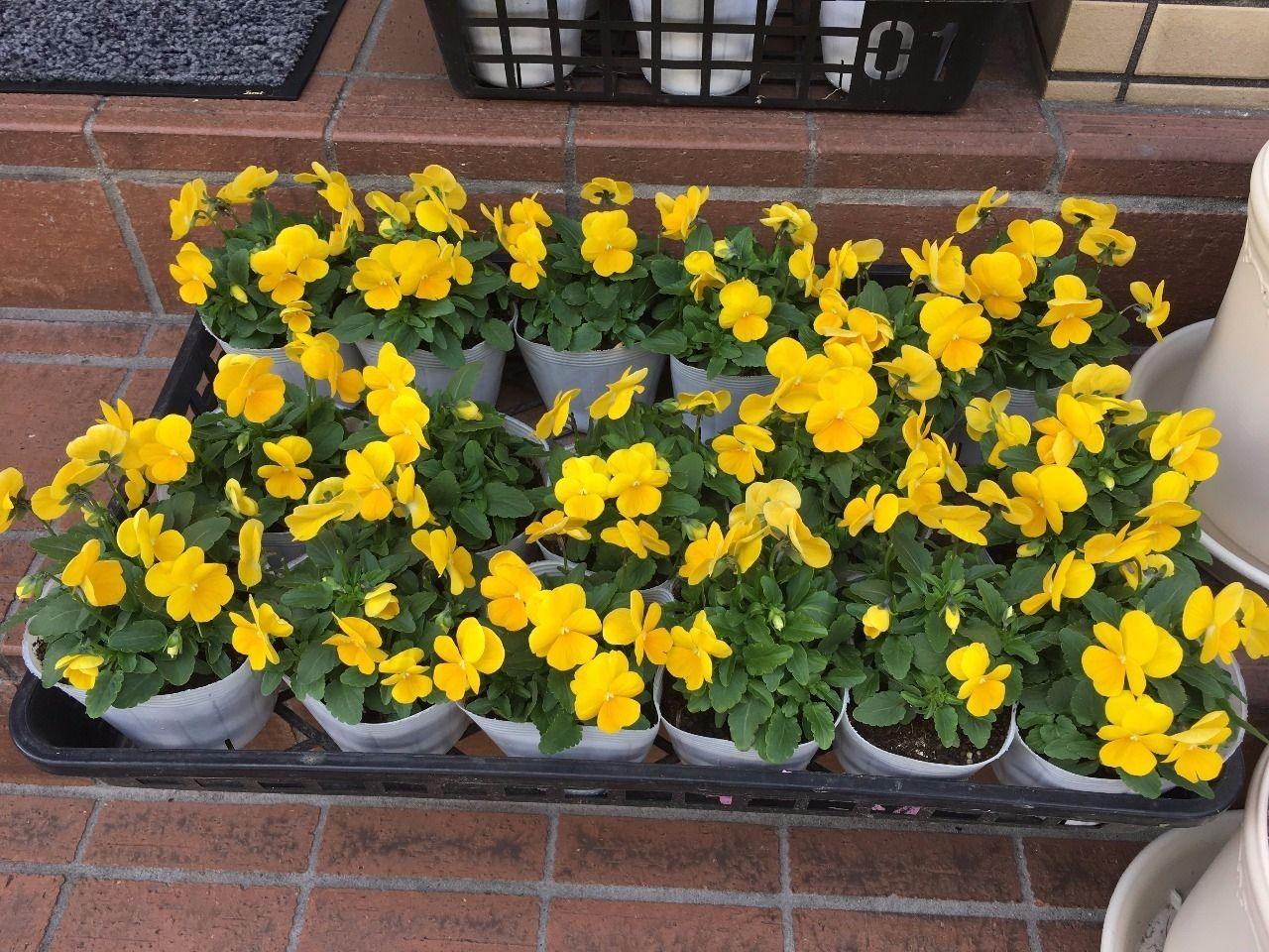 トマト園芸さんで買って来たビオラ32個をプランターに植えました!