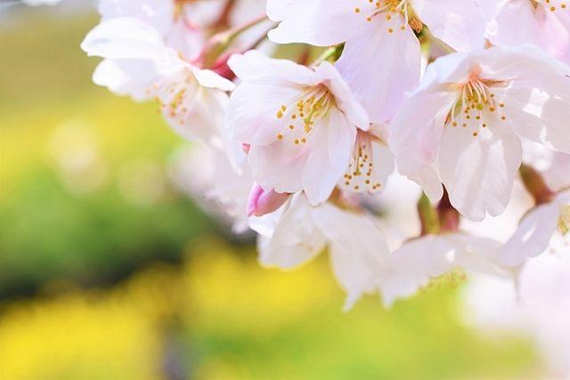 令和3年北越谷桜まつりは中止となってしまいました