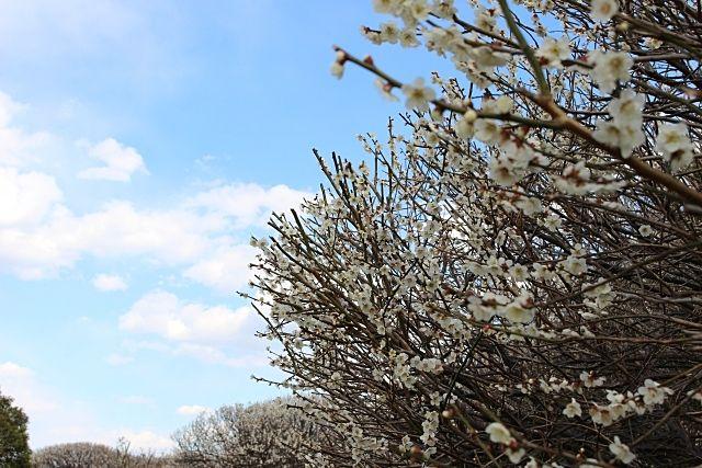 第27回越谷梅林公園梅まつりは中止です