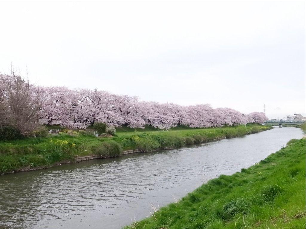 昨年2017年元荒川の桜の様子です!!